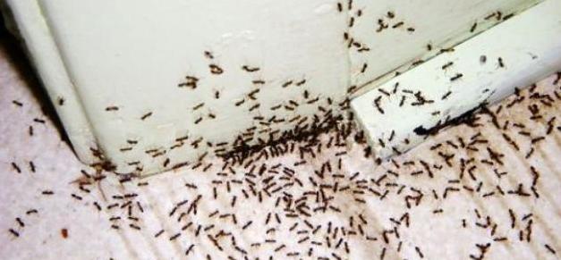 التخلص من النمل الصغير داخل المنزل