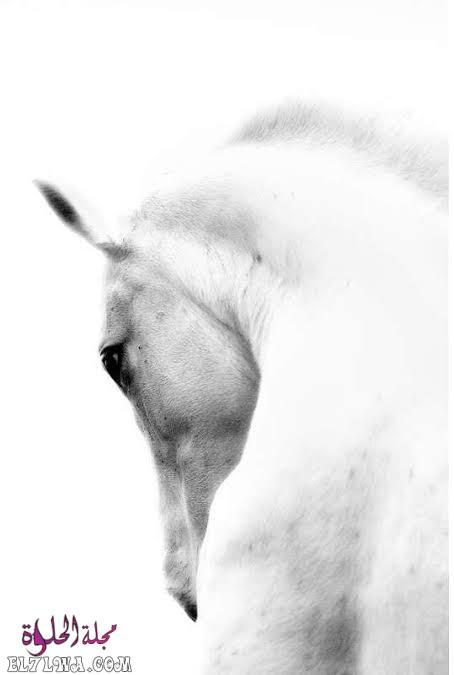 خلفيات كيوت صورة حصان باللون الأبيض للموبايل