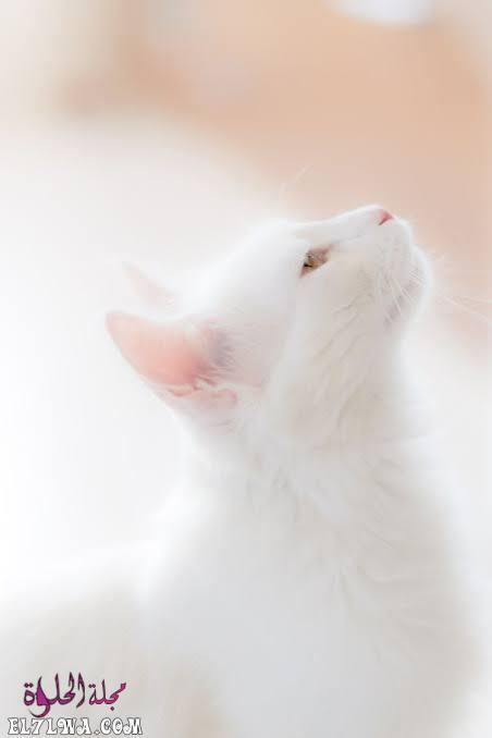 صور قطط خلفيات بيضاء جديدة تحميل خلفيات بيضاء