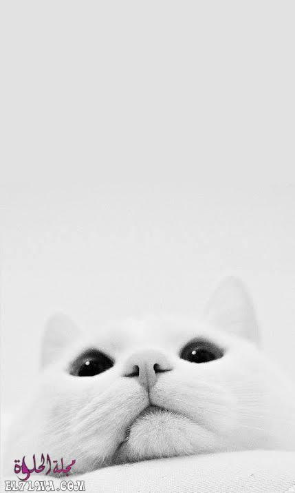 صورة قطة صور خلفيات بيضاء للموبايل تحميل خلفيات موبايل جديدة