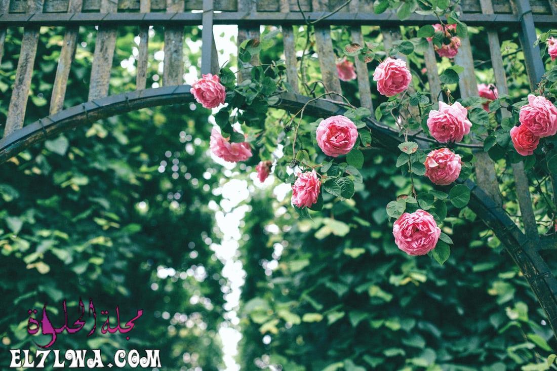 خلفيات ورد طبيعي صور خلفيات ورد خلفيات ورود جميلة جدا
