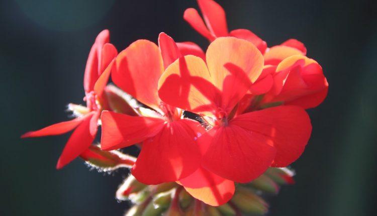 صور خلفيات ورد خلفيات ورود جميلة جدا خلفيات ورد طبيعي